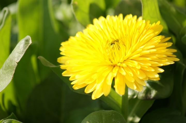 キンセンカが開花