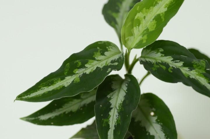 Aglaonema tricolor AW1302 padang (TB)