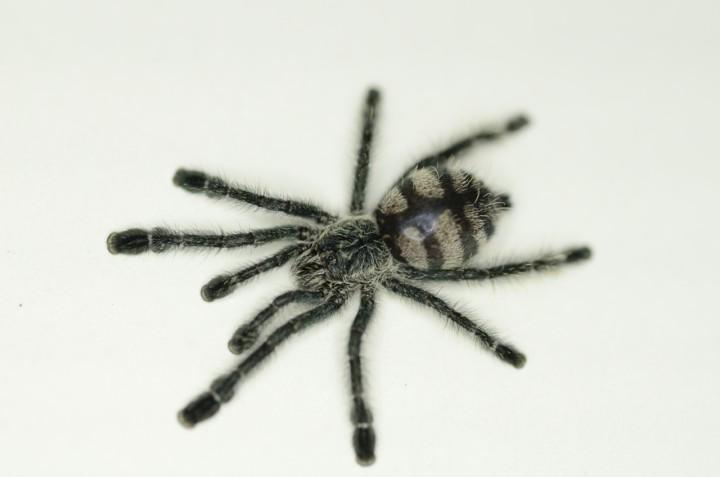 パープルピンクトゥータランチュラ幼体