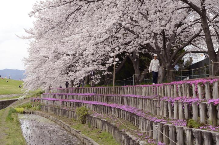 芥川、桜と芝桜