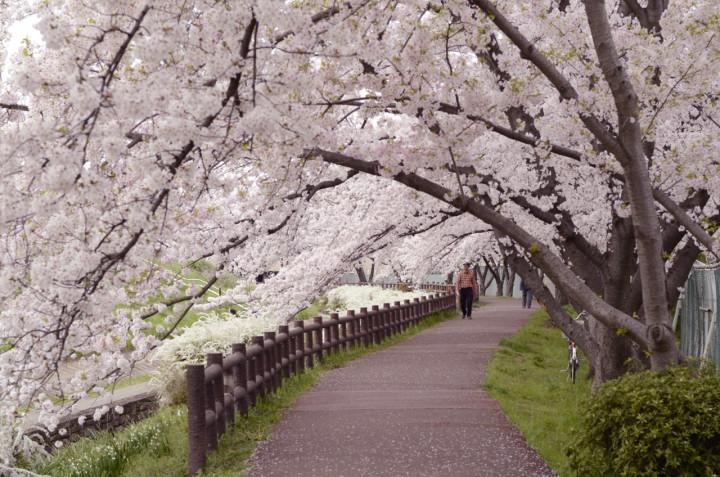 芥川の桜遊歩道