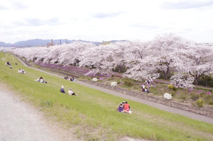 高槻の隠れた桜の名所 芥川