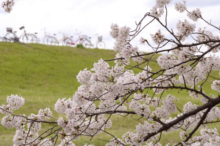 芥川の桜と自転車