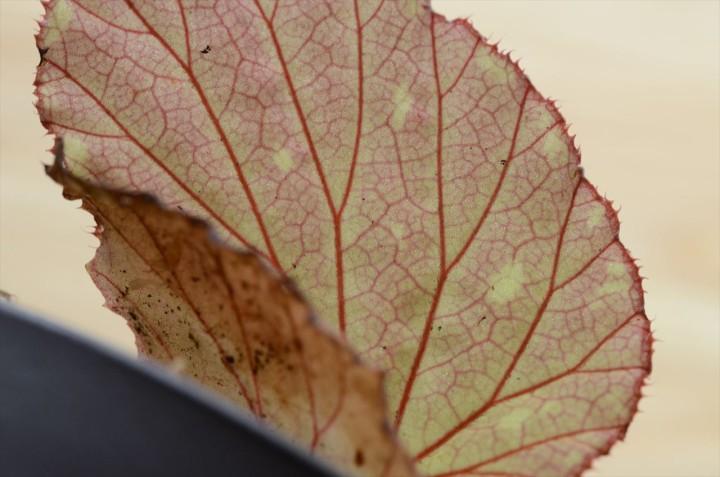 "Begonia sp. ""Bau-1"""