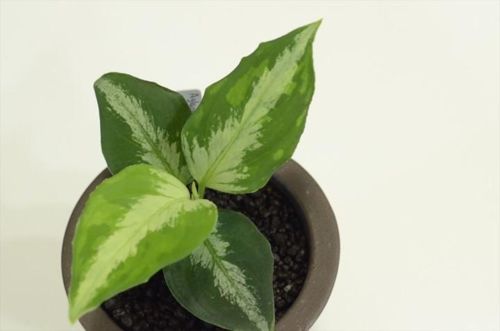 "Aglaonema pictum tricolor ""マルチカラー白玉"" from Sumatera Barat [AZ便]"