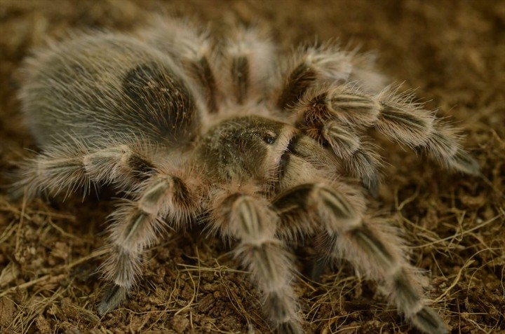 Grammostola sp. conception