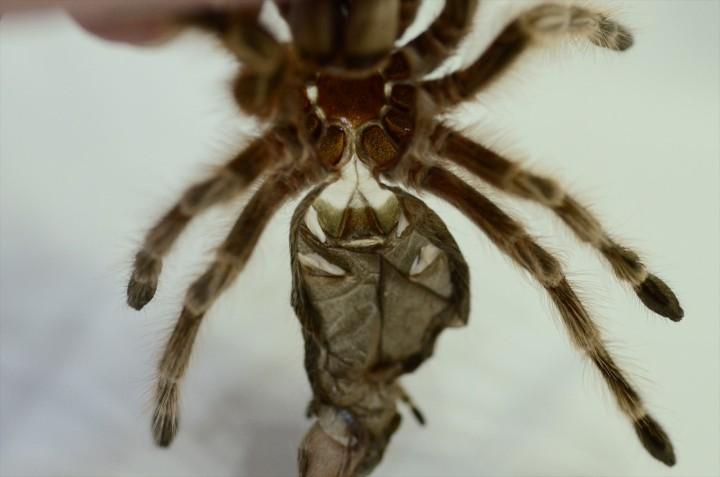 Grammostola sp. conception の脱皮殻