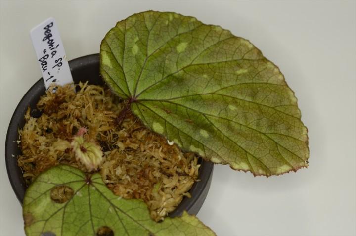 Begonia_Bau-1