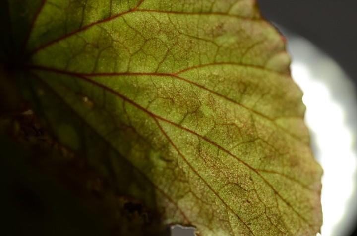 Begonia_Bau-1_up