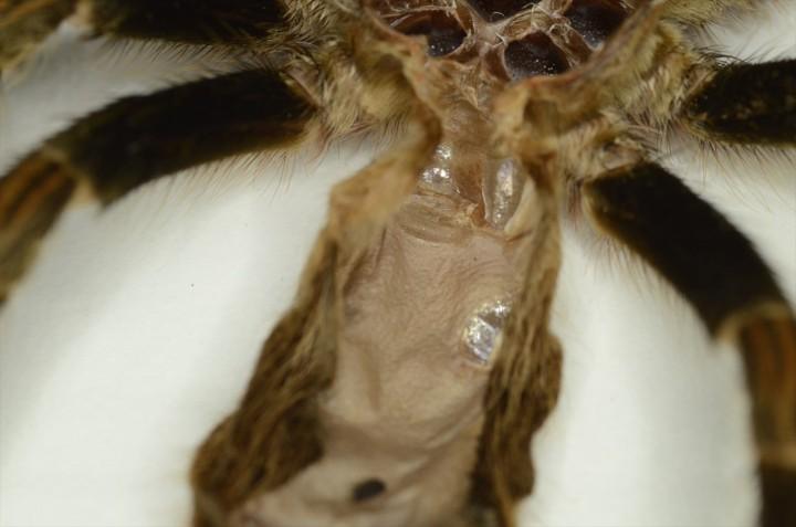 Euathlus-pulcherrimaklaasi-GREEN-molt