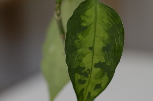 Aglaonema-Padang-UK_2