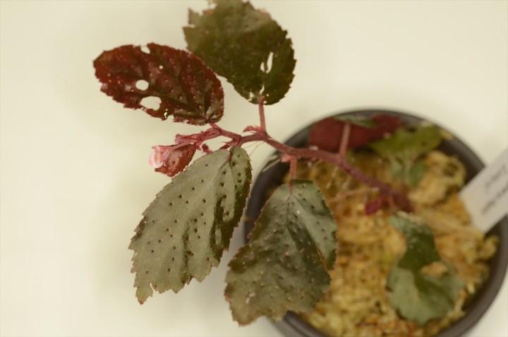 Begonia sp. Bengkulu