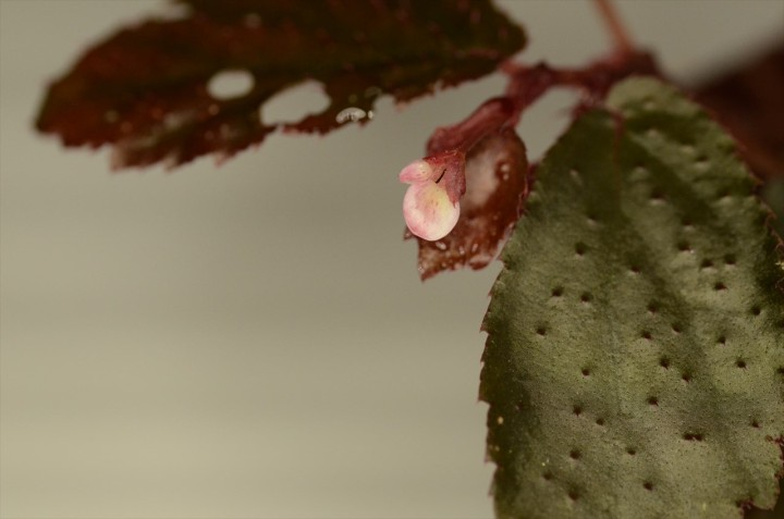 Begonia sp. Bengkulu 花