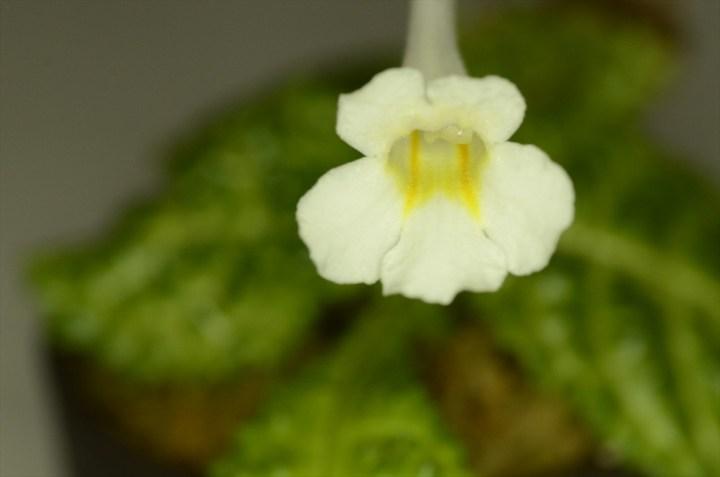 Gesneria_Tebakang-1_flower2