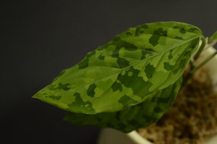 "Aglaonema pictum ""緑三色スネークスキン"""