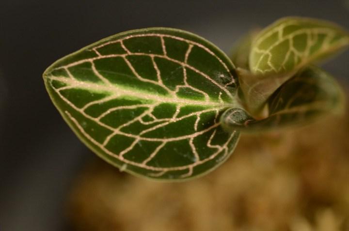 Anoectochilus roxburghii