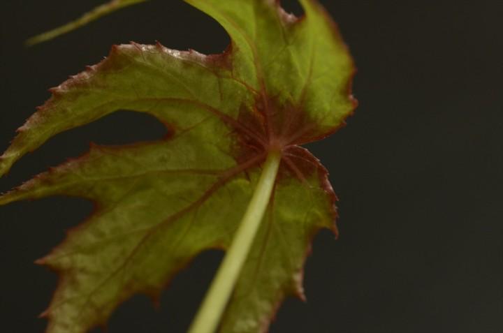 Begonia-diadema_2