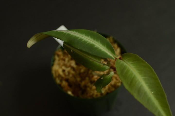 Labisia-pumila-Matang-3
