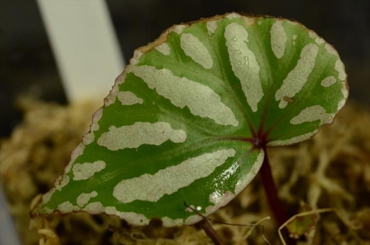 """Begonia sp. """"Kanowit"""""""
