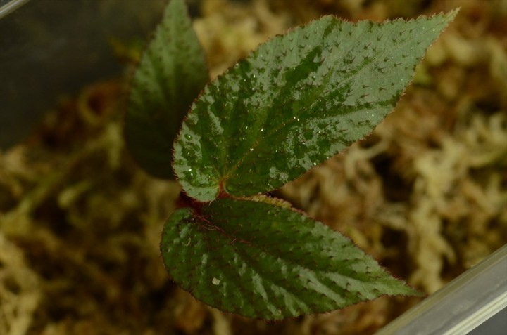 begonia-padang