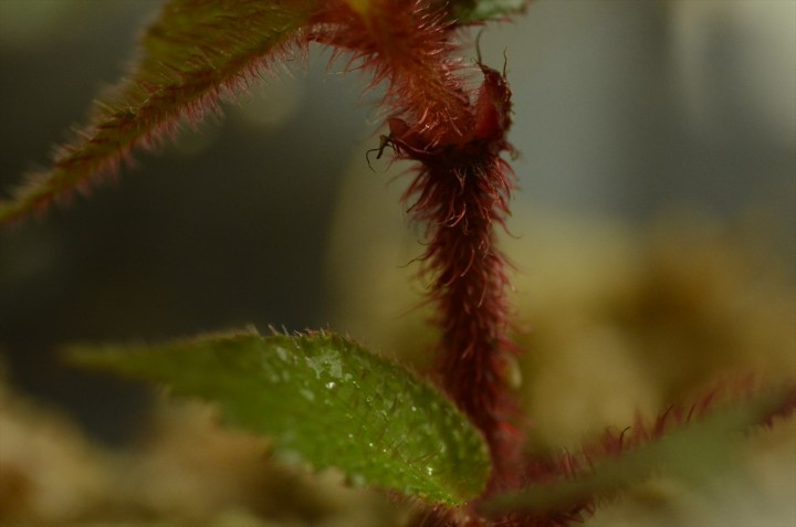begonia-padang_2