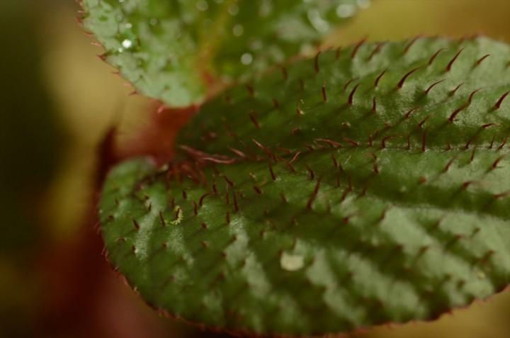 begonia-padang_3