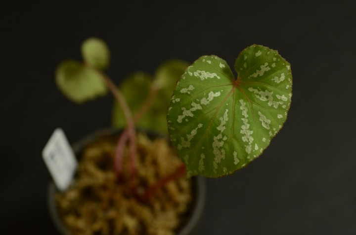 "Begonia sp. ""昆明"""