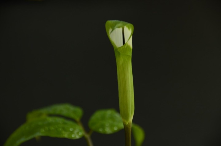 Arisaema grapsospadix 開花