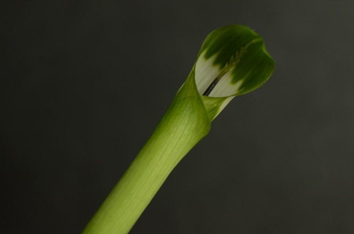 Arisaema-grapsospadix-flower_2