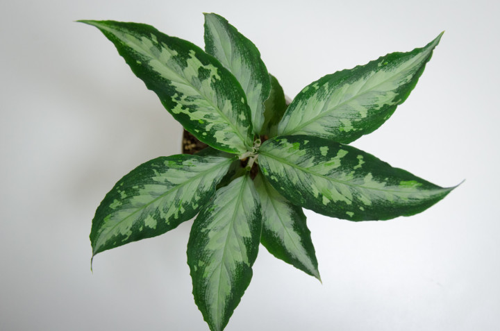 Aglaonema-pictum-SilverMosaic-b