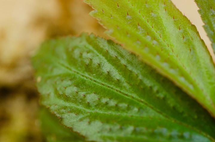 Begonia-Selarang_3