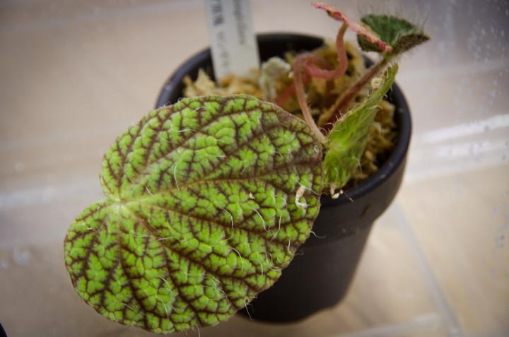 Begonia-longiciliata