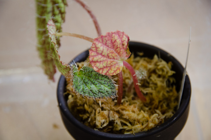 Begonia-longiciliata_2
