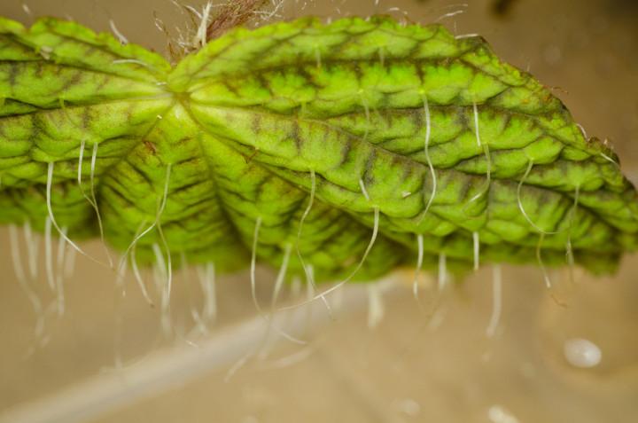 Begonia-longiciliata_3