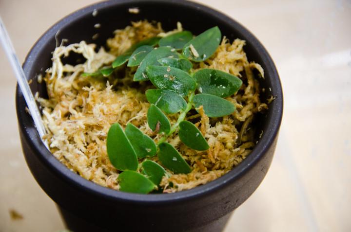 Rhaphidophora-Selangor_3
