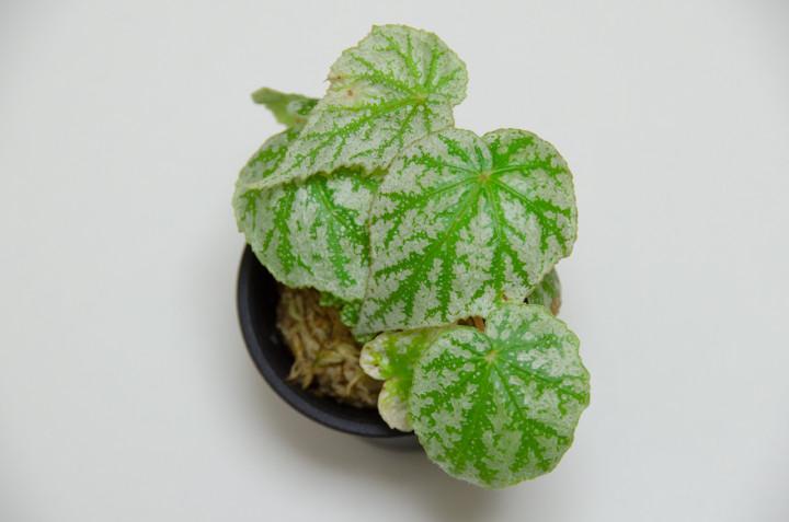 Beonia formosana f.albomaculata GN-1 福山, 台湾