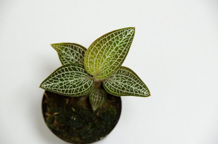 Lemon Lime White Form